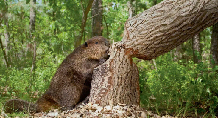 How Beaver Cutting Down Tree: Many Amazing Facts (2021)