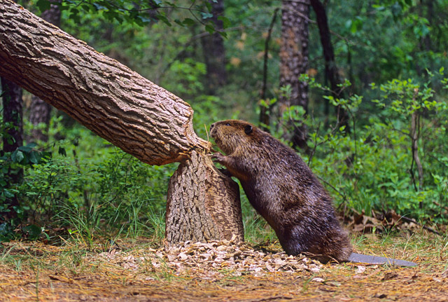 How Beaver Cutting Down Tree: Many Amazing Facts